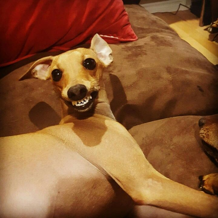 italian greyhound smiling - photo #27