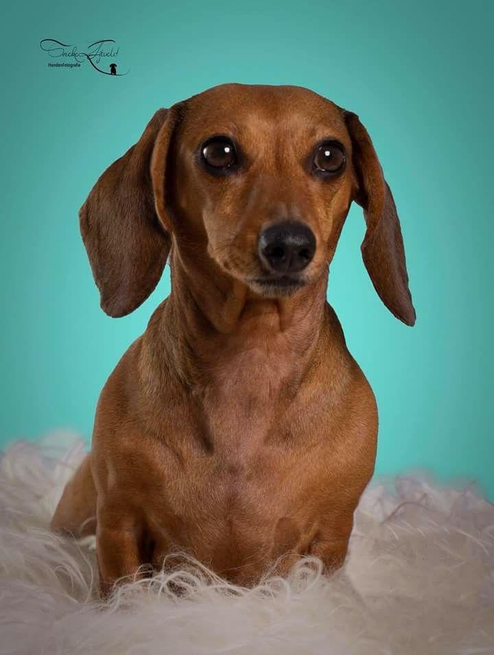 Dachshund Weiner Dog Wiener Dog Dachshund