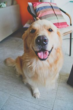 My goodness, I can't wait to have a Golden Retriever to add to my Furbaby-pack!! :)