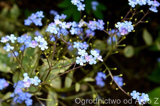 Ogrodnictwo od A do Z : Brunera wielkolistna (Brunnera macrophylla ang. Si...