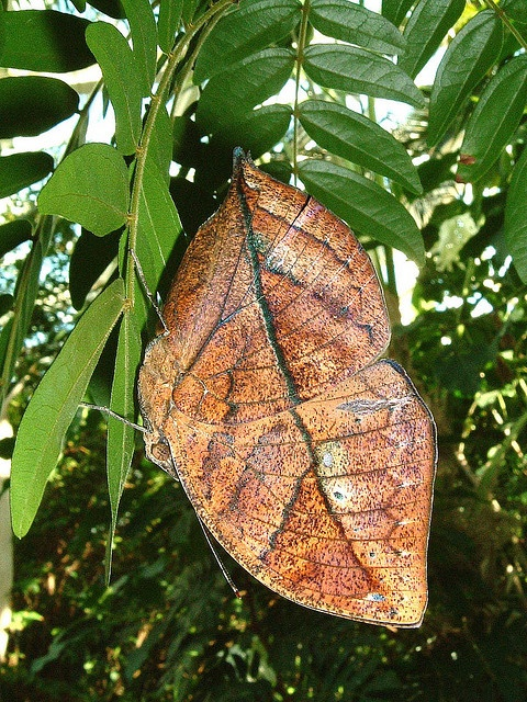 """The Dead Leaf Butterfly(Kallima inachus), from Southeast Asia, really lives up to its name! Many species of butterflies look like dead leaves when at rest, but this one is by far the best at it. There are vein markings and a """"tail"""" that looks like a stem, and there's even a clear spot on the front wing that looks like a hole!"""