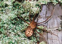210. Araña Esculpidora.