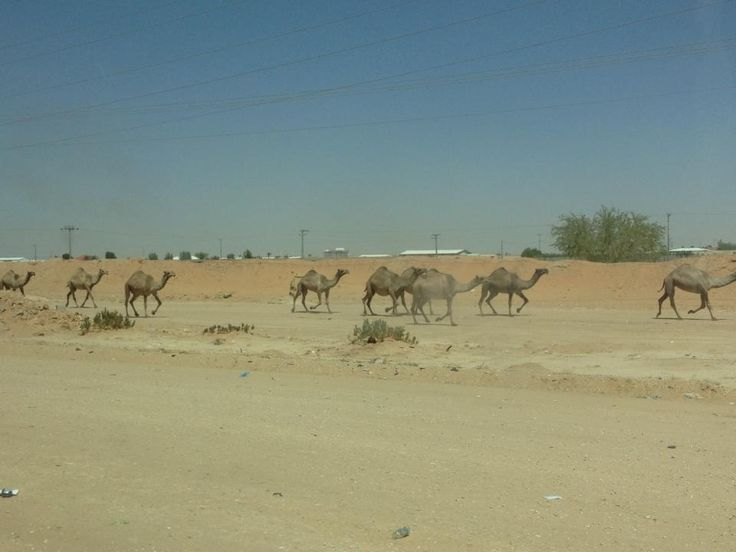 Coming back from the horses to see a load of camels. Now that's a sight you don't see in England! :-)