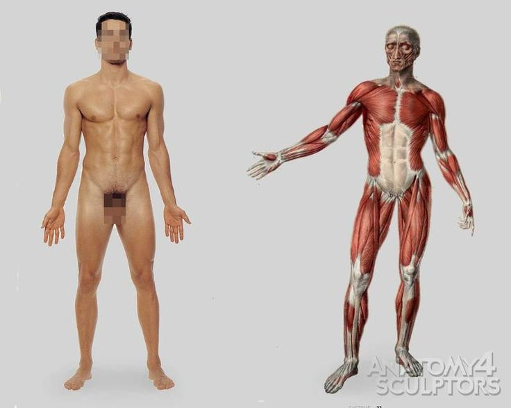 22 Best Anatomy4sculptor Body Images On Pinterest Sketches