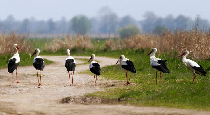 Storks at Biebrzański Park Narodowy in Poland. Kolonia bocianów białych/Fot. Piotr Skórnicki/Agencja Gazeta