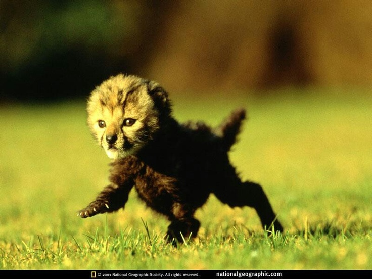 Baby cheetah Fluffy love ♡ Pinterest Babies, Baby