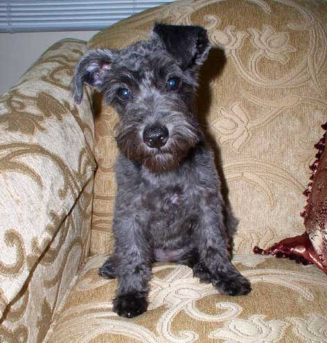 Miniature schnauzer or toy poodle