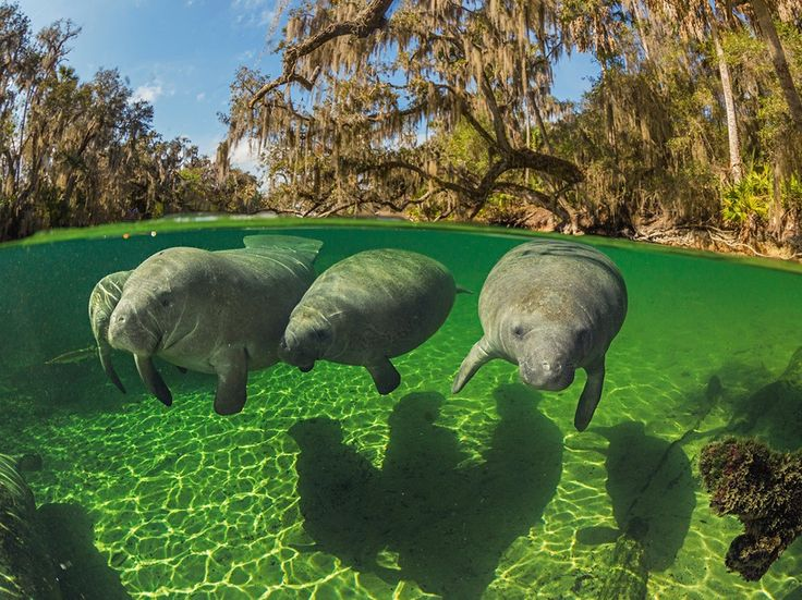 See a photo of manatees swimming in Florida by Paul Nicklen and download free wallpaper from National Geographic.
