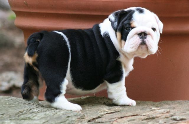 Omg gorgeous.. Wonder what the price is.. I have 4 English Bulldogs.. A brindle, bronze seal, lilac, and chocolate.. I want that one!
