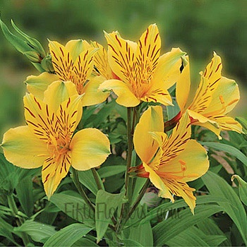 Alstromeria. love this flower, comes in many colors and makes a wonderful filler for arrangements. great pop of color for the garden