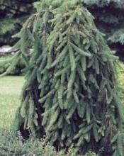 Picea abies Pendula Weeping Norway Spruce - Kigi Nursery