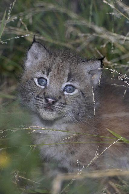 Siberian lynx cub   Cats 101   Lynx, Cats 101, Exotic pets