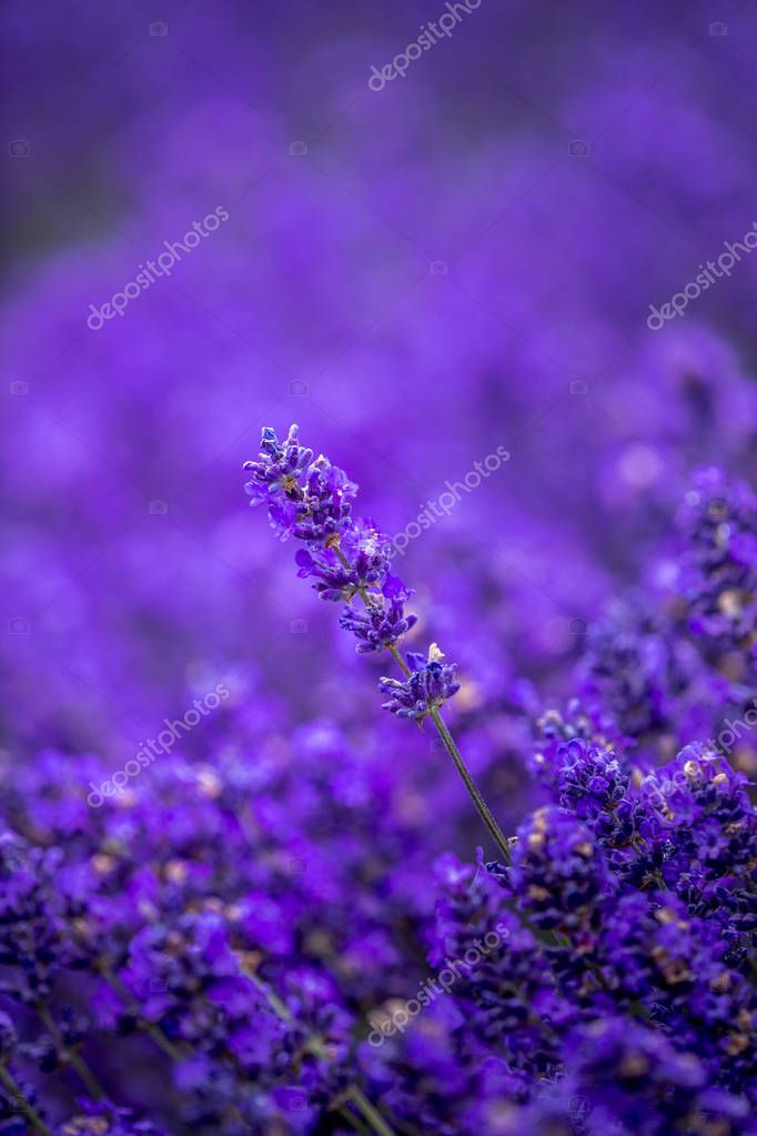 Blooming Lavender Fields In Pacific Northwest Usa Stock Photo Sponsored Fields Pacific In 2020 Lavender Fields Beautiful Flowers Photography Flower Skincare