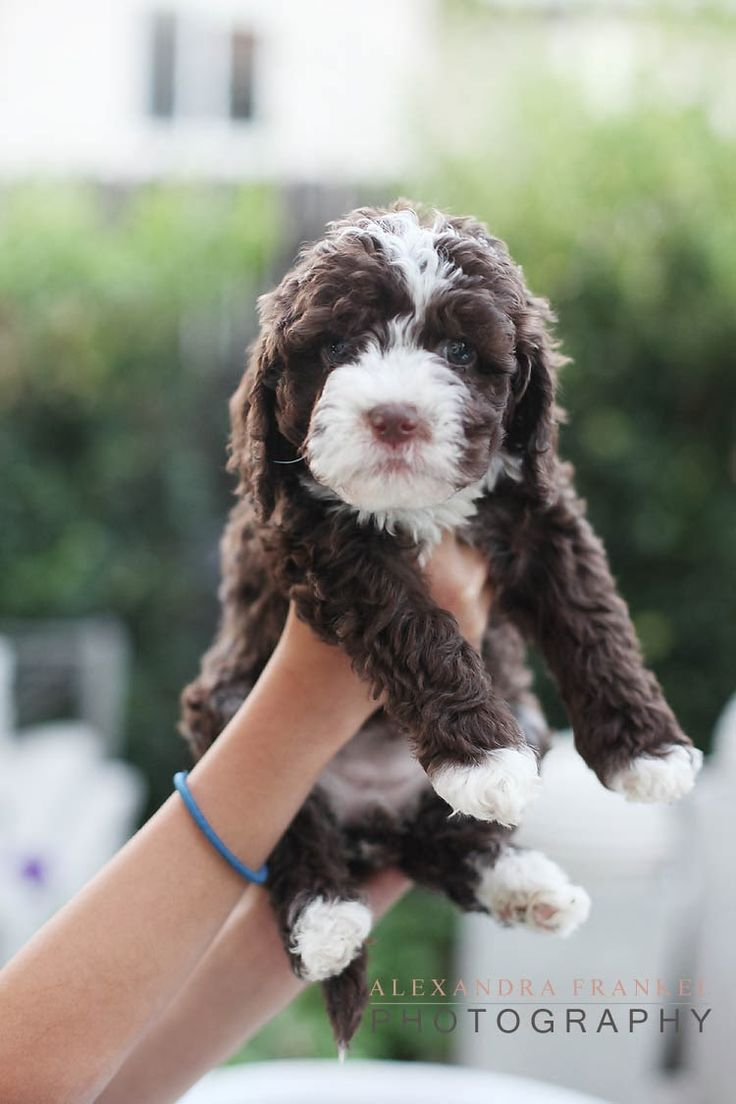 so I have decided that I am a Labradoodle freak. I do believe the next puppy I have will be one of these little guys. :)