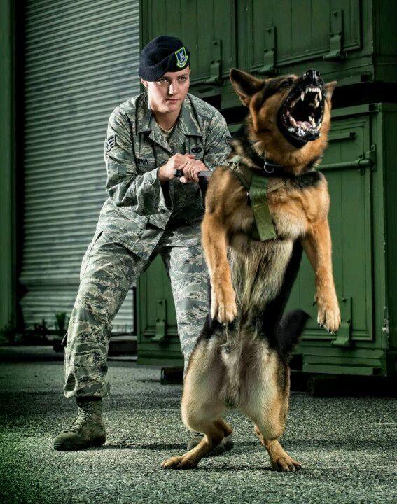 Mwd Erdo Heck Yeah Germanshepherd Military Dogs Military