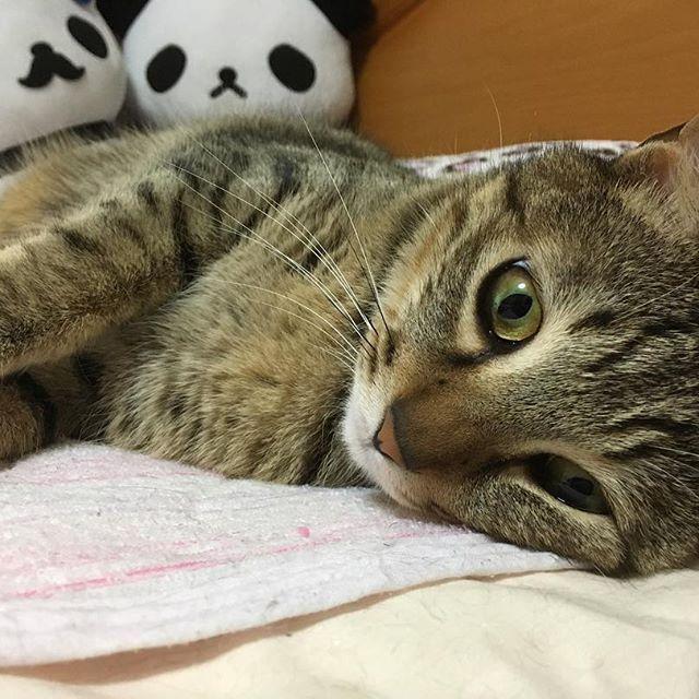 #🐈 . 雨降ってるやーーん☔️ . . . #猫#ネコ#ねこ#cat#天使#親バカ#元捨て猫#キジトラ#写真#picture#photo#寝相#寝顔#愛猫#雨#ふて寝
