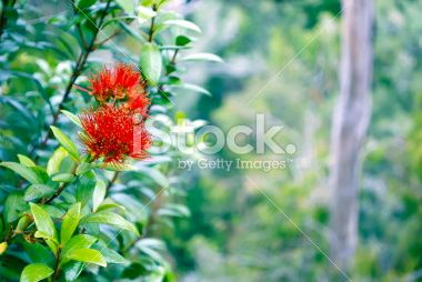 Rata in Bloom (Metrosideros Umbellata) Royalty Free Stock Photo
