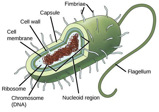 Prokaryotic cells | Prokaryotic and eukaryotic cells | Khan Academy