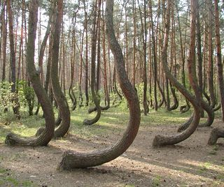 Crooked forest in PolandNature, Crooks Forests, Beautiful, Trees Growing, Curves Trees, Travel, Places, Pine Trees, Poland