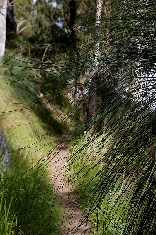 Through the Looking Grass (Xanthorrhoea;)