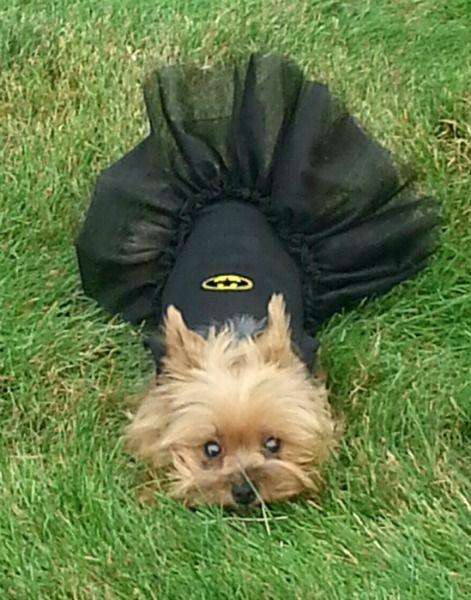 Batgirl Costume For  - http://badasspetz.com/item_1659/Batgirl-Costume-For-Dogs.htm