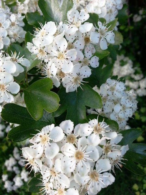 May Blossom up close