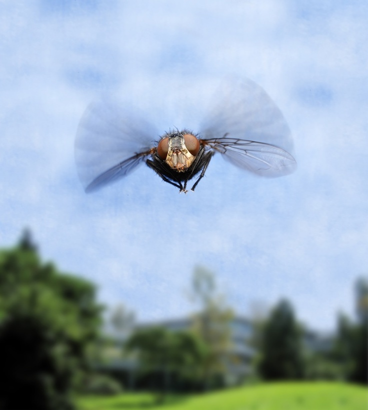 The fruit fly Drosophila melanogaster contracts and relaxes its flight muscles 200 times a second. - Credit: Frank Schnorrer / MPI of Biochemistry