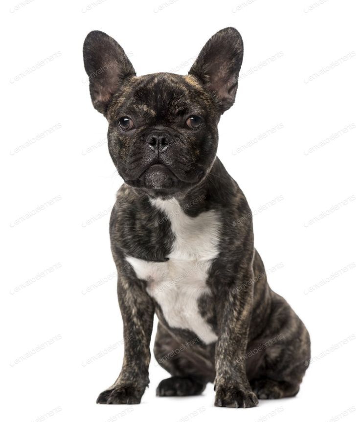 French Bulldog Puppies Madison Wi 2021