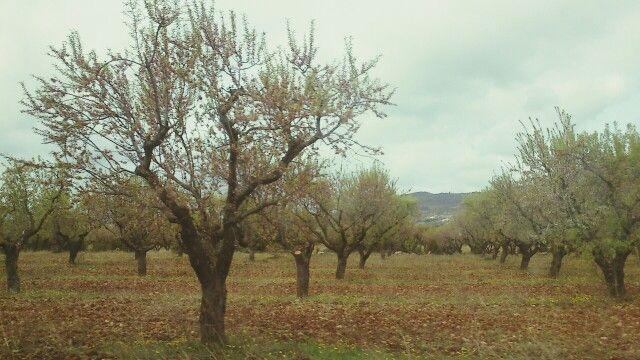 Almendros. Huesca.