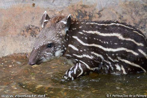 Nouvelle naissance de tapir au Zoo de La Palmyre