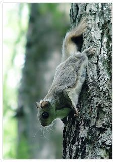 The Siberian Flying Squirrel in #Nuuksio National Park