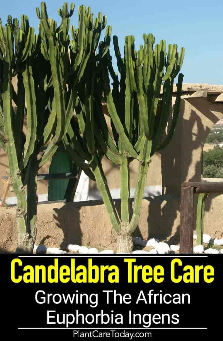 Euphorbia Ingens Care Growing The African Candelabra Tree Euphorbia Inside Plants Front Yard Landscaping
