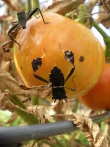 Leaf-footed bug attacking a tomato. Unwelcome garden visitors.