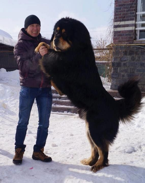 Mongolian Dog. This is a freaken huge dog. Imagine how big its crap is. But it's still cute