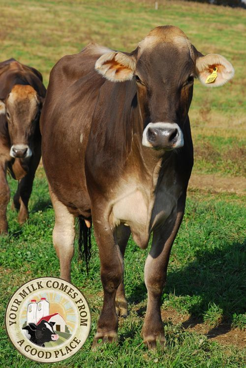 Meet the Brown Swiss cow! Many dairy historians consider the breed to be the oldest of all the dairy breeds.: