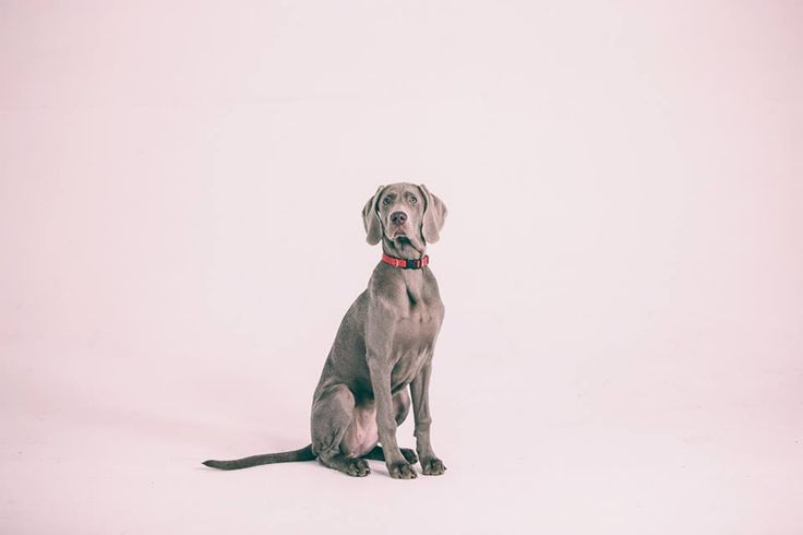 #weimaraner #puppy #photography