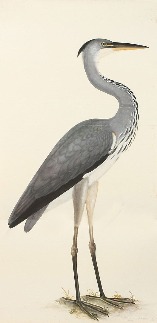 Olof Rudbeck Grey Heron Swedish Bird Prints Wall Art  Giclee reproductions of Swedish Birds original watercolors from 1720 by Olof Rudbeck.  Quality giclee reproduction print on fine paper of highly desirable  bird prints that will not fade in black grain wood frame. Made in USA by Museum Outlets
