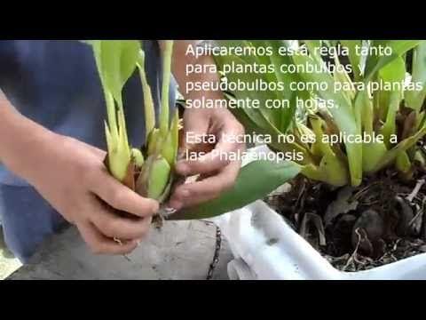 Curso de orquídeas on-line: Multiplicación y Obtención de nuevas plantas - YouTube
