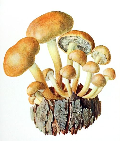 Brick Cap (Hypholoma sublateritium)  Albin Schmalfuss, from Führer für Pilzfreunde (The mushroom lover's guidebook) vol. 2, by Edmund Michael, Zwickau, 1901.