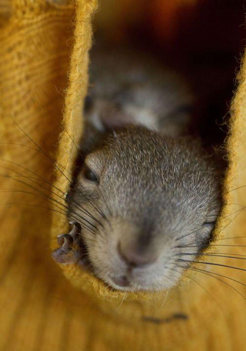 Hoitolan oravanpoikaset ovat pian riittävän isoja palaamaan luontoon. Pipo on oraville turvapaikka, jossa voi levätä ja joskus myös riehua.