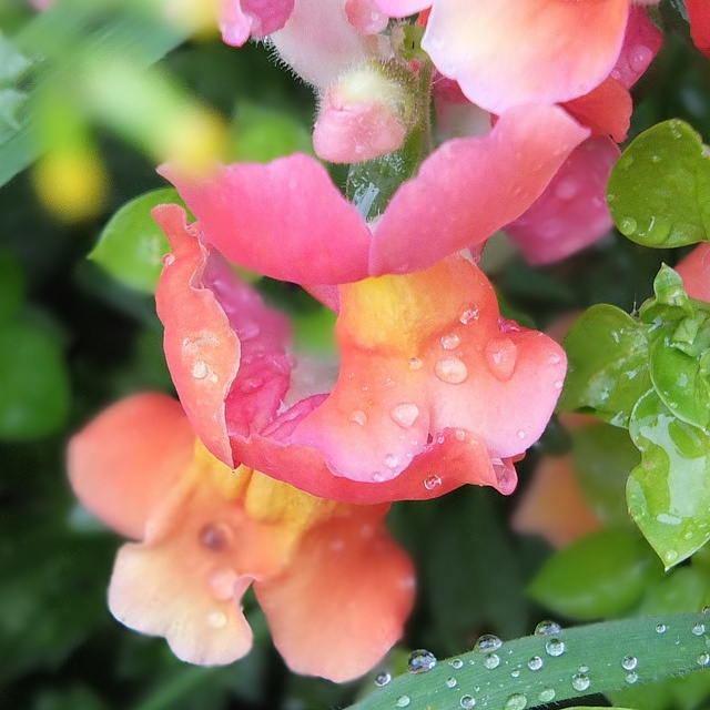 Rain drops on snapdragons.jpg, via Flickr.