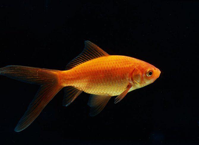 Carassius auratus auratus common golfish sighted new for Common freshwater fish
