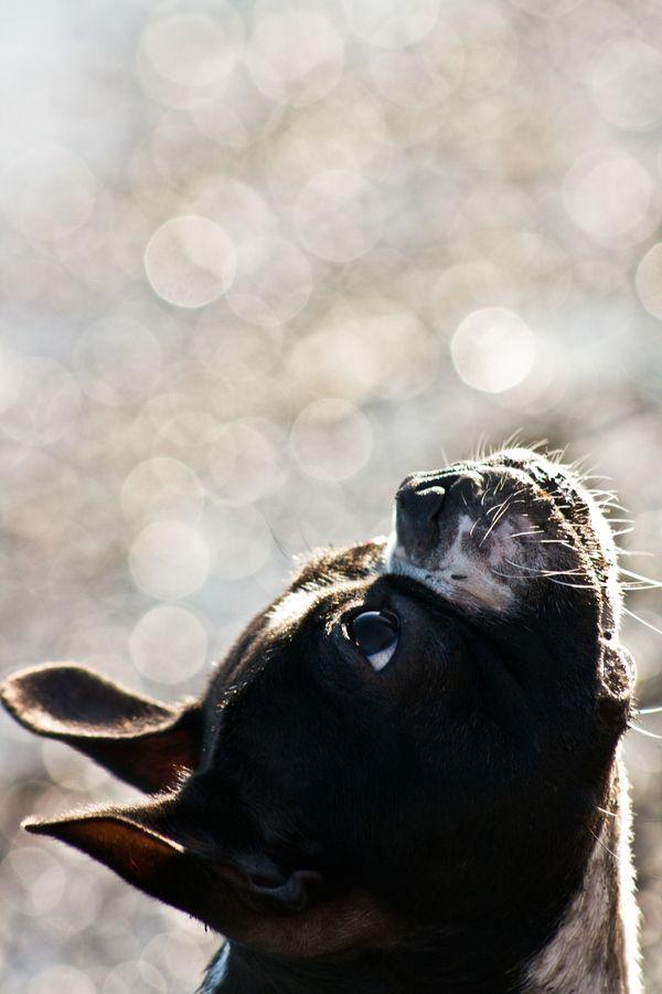 Boston Terrier ~ OMG! Adorable photo.