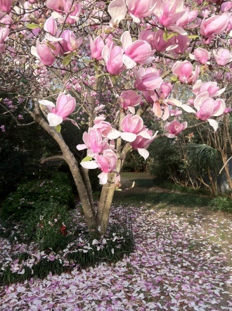 10 Best Images About Tulip Magnolias On Pinterest Early
