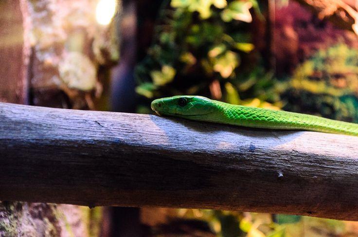 Mamba Verde | #Parque #Zoológico Buin Zoo #Animal