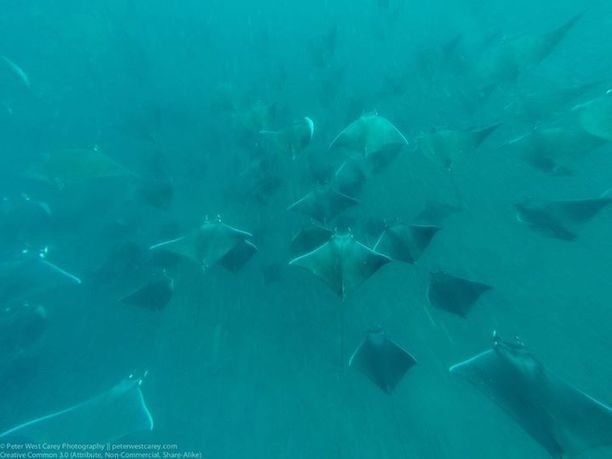 Mobula Rays In Formation, Gulf Of California, Baja California Sur - Peter West Carey Photography