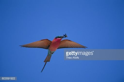 Stock Photo : Southern Carmine Bee-Eater Carrying Bee