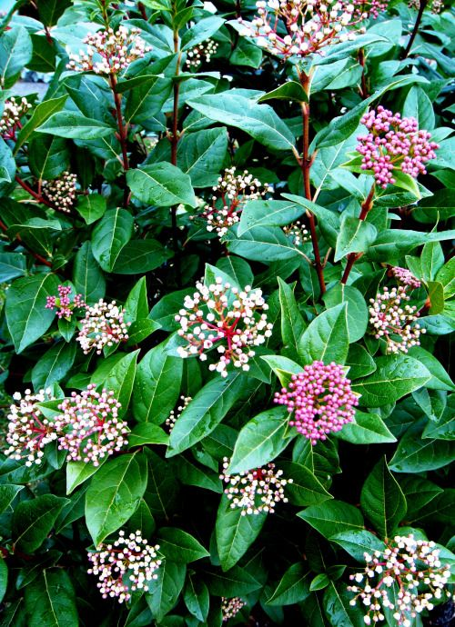 217 best images about Evergreen Shrubs on Pinterest ...