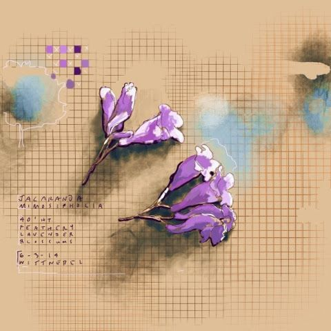 Image result for jacaranda drawing