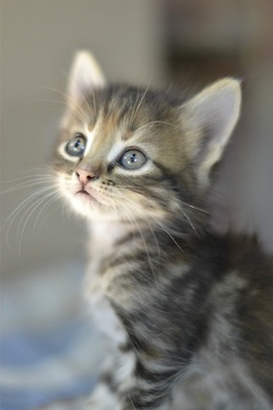 Kitty Cat, Sweets, Adorable Kittens, Pets, Baby Kittens, Blue Eye, Baby Kitty, Cat Lady, Animal
